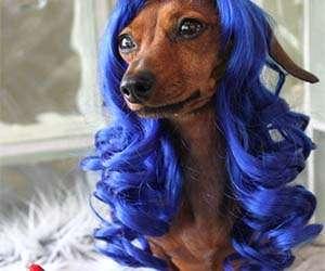 Wig Wearing Pets